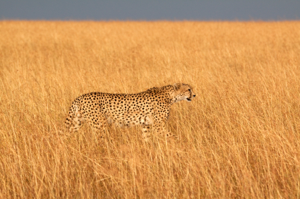 Cheetah hidden among tall grass